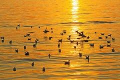 Jogo da gaivota com por do sol Foto de Stock Royalty Free