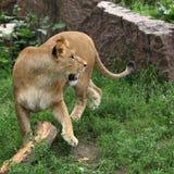 Jogo da leoa com um registro Fotos de Stock