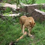 Jogo da leoa com um registro Foto de Stock