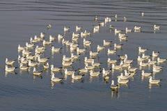 Jogo da manhã da gaivota na água Foto de Stock Royalty Free
