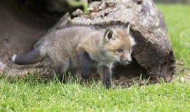 Jogo da raposa vermelha Fotografia de Stock Royalty Free
