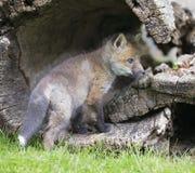 Jogo da raposa vermelha Imagem de Stock Royalty Free