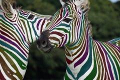 Jogo da zebra do arco-íris foto de stock royalty free