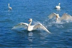 Jogo das cisnes fotografia de stock royalty free