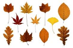 Jogo das folhas de outono isoladas no branco Fotografia de Stock