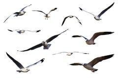 Jogo das gaivota de mar isoladas no branco. Fotos de Stock Royalty Free