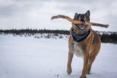 Jogo de Dog do pastor alemão com a vara ao lado do lago coberto de neve fotografia de stock