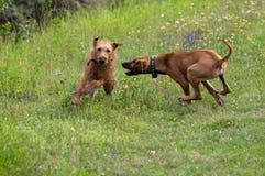 Jogo de dois cães imagem de stock royalty free