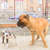 Jogo de dois cães Imagens de Stock