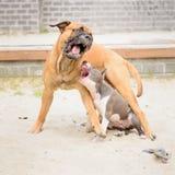 Jogo de dois cães Imagens de Stock Royalty Free