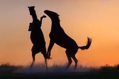 Jogo de dois cavalos Fotografia de Stock
