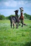 Jogo de dois cavalos Fotos de Stock