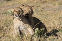 Jogo de dois filhotes de leões Imagens de Stock Royalty Free