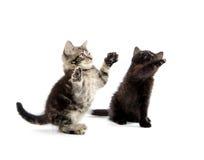 Jogo de dois gatinhos Foto de Stock Royalty Free