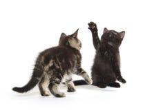 Jogo de dois gatinhos Fotografia de Stock Royalty Free