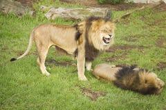 Jogo de dois leões Imagens de Stock Royalty Free