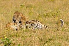 Jogo de dois leopardos foto de stock royalty free