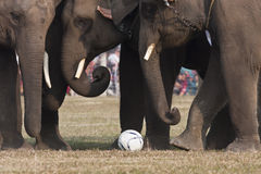 Jogo de futebol - festival do elefante, Chitwan 2013, Nepal Foto de Stock