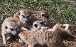 Jogo de Meercats Fotografia de Stock Royalty Free
