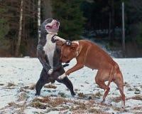 Jogo de Pitbull que luta com O.E. Bulldog fotografia de stock royalty free