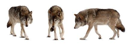 Jogo de poucos lobos sobre o branco imagens de stock