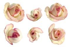 Jogo de rosas cor-de-rosa foto de stock