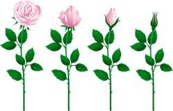 Jogo de rosas cor-de-rosa Fotografia de Stock Royalty Free