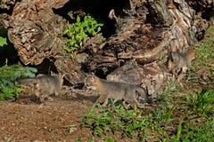 Jogo de três Grey Fox Kits (cinereoargenteus do Urocyon) pelo log Fotografia de Stock Royalty Free