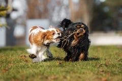 Jogo descuidado dos cães do spaniel de rei Charles imagens de stock royalty free