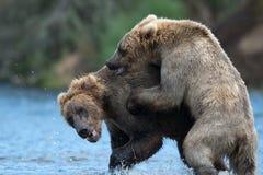 Jogo do Alasca de dois ursos marrons Fotografia de Stock