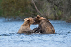 Jogo do Alasca de dois ursos marrons foto de stock royalty free