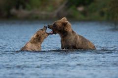 Jogo do Alasca de dois ursos marrons imagens de stock