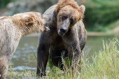 Jogo do Alasca de dois ursos marrons imagens de stock royalty free