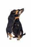Jogo do cão Fotos de Stock Royalty Free