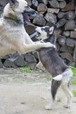 Jogo do cão de puxar trenós Siberian Imagens de Stock