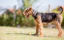 Jogo do cão do terrier de Airedale Foto de Stock Royalty Free