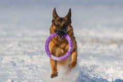 Jogo do cão na neve Imagens de Stock