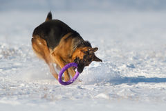 Jogo do cão na neve Fotos de Stock