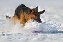 Jogo do cão na neve Imagens de Stock Royalty Free