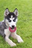 Jogo do cachorrinho do cão de puxar trenós Siberian Imagens de Stock