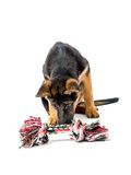 Jogo do cachorrinho do pastor alemão Imagem de Stock Royalty Free