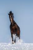 Jogo do cavalo Fotografia de Stock