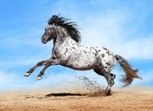 Jogo do cavalo do Appaloosa no verão Fotos de Stock