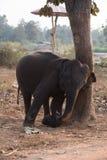 Jogo do elefante Fotos de Stock