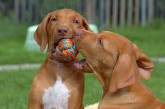 Jogo do filhote de cachorro Imagem de Stock Royalty Free