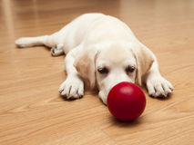 Jogo do filhote de cachorro de Labrador Fotos de Stock