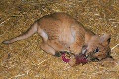 Jogo do filhote de leão foto de stock royalty free