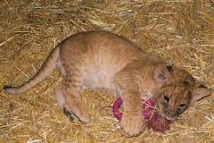 Jogo do filhote de leão fotografia de stock