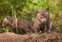 Jogo do Fox vermelho & x28; Vulpes& x29 do Vulpes; Caminhadas para o visor Foto de Stock Royalty Free