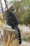 Jogo do gato Fotografia de Stock Royalty Free
